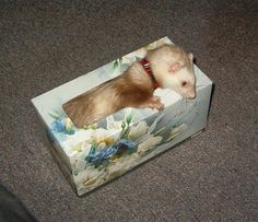 all ferrets should sleep in tissue boxes!