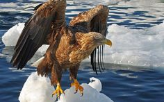 Animal Eagle  Wallpaper