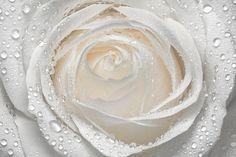 dew on pretty white petals. . . . .