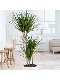 ThisDracaena Marginata is a beautiful, on-trend houseplant for your home. Perfect for those who are new to indoor gardening, this dramatic houseplant is easy to grow and maintain. The dark green, sword-shaped leaves make the Dracena look like a miniature palm tree, meaning that it will add instant impact to a bright spot in any corner of your home! Supplied as a 3-stemmed plant (60/30/15cm) in a 24cm pot. Delivered As: Plant Max Height (in cm): 400 Max Spread (in cm): 250 Planting Period: Miniature Palm Trees, Dracaena Marginata, Dragon Blood Tree, Crocus Bulbs, Fallen Fruits, Flora, Indoor Trees, Indoor Plant Pots, Indoor Gardening