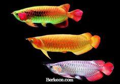 5 Ikan Hias Air Tawar Paling Populer