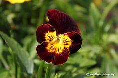Picture of Dark red and yellow pansy flower, More flower pictures on this website! Pansy Flower, Flower Art, Large Flowers, Wild Flowers, Beautiful Flowers Garden, Winter Flowers, Flower Center, Flower Pictures, Purple Yellow