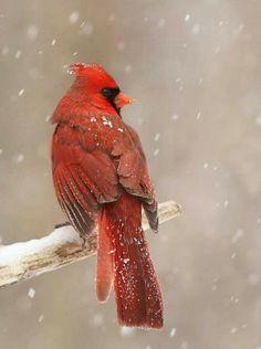 All Birds, Love Birds, Pretty Birds, Beautiful Birds, Animals And Pets, Cute Animals, Cardinal Birds, Bird Pictures, Cardinal Pictures