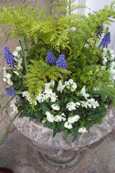 Spring container garden. Spring urn. Spring flowers. Mother fern. Grape hyacinth. White violas.