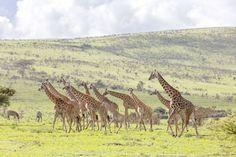 Wildtiere aus nächster Nähe und in freier Wildbahn im Serengeti Nationalpark in Tansania