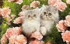 cats+and+flowers | Cats Flowers Free Hd Wallpaper with 1920x1200 Resolution