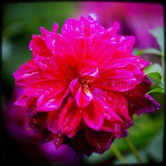 The one that held the rain. #pnw #macro_flowers #ig_flowers #flowerstalking #9vaga_flowersart9 #ig_mood #bestcaptureglobal #hot_macros #em_member #smallworld_uc #pocket_pretty #topfleur #fav_flowers_ #quintaflower #flowersandmacro #my_daily_flower #igscflowers #flipping_flowers #Macroandflora #macroclique #saylovetonature #tgif_macro #eye_for_earth #epix_flowerz #pocket_macro #flaming_flora #petal_perfection #lens_it2me