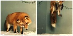 Watch This Perplexed Fox Confuse White Bed Sheets With Snow  - CountryLiving.com