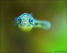 Dwarf Freshwater Puffer Fish by Gene Rollins, via 500px