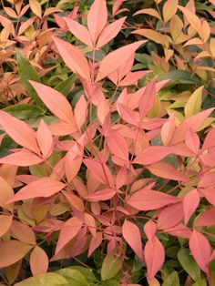 Nandina domestica 'Magical Sunrise' -  Great for pots, front of border positions or even low hedges, this compact evergreen has decorative foliage as well as white summer flowers. Like most of the nandinas, the new foliage is brightly coloured - this one is a lush shade of bronze-orange. As the leaves age, they turn green, but will often take on fiery undertones throughout the colder months, so you get year-round interest. The white summer flowers are pretty too.