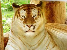 golden-tabby-tiger