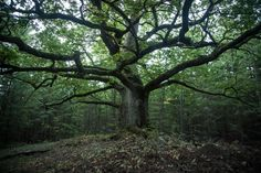 Paavolan Tammi/ Oak of Paavola, Finland's most beautiful tree Places To Travel, Places To Visit, Forest Painting, Tree Leaves, Landscape Pictures, Best Cities, The Fresh, Mother Earth, Where To Go