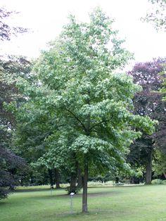 http://upload.wikimedia.org/wikipedia/commons/0/04/Liquidambar_styraciflua_tree_august.jpg