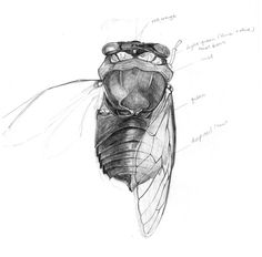 Cicada Drawing - Cicada Pencil Study by Elizabeth Carrozza