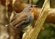 Scelorchilus rubecula, Chucao tapaculo: Argentina & Chile, including Magallanes. Tapaculo family