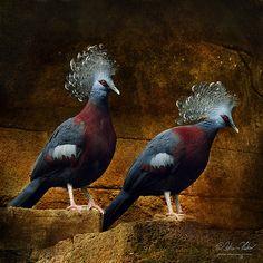 Western crowned-pigeons