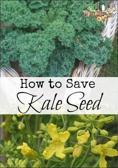 How to Save Kale Seed l Save seed to use next year with these simple steps l…