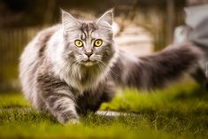 Kot, Maine coon, Trawa