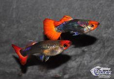 Guppy Tricolor Showa 3/3-4 (en cple) NOUVEAU