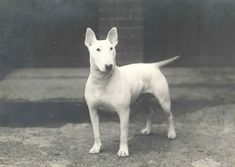 Champion Num Skull the bull terrier, 1930   30 Cute Dog Photos From The'30s