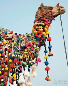 India is truly an incredible and colourful country with the greatest cultural confluence in the world.  The lively culture of India can be best seen in this picture where a camel in Rajasthan state of India is adorned with colorful tassels, necklaces and beads during the popular desert festival of Jaisalmer.  #IncredibleIndia #BuddhaTravel