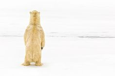 Waiting by Shelley Lake:  A hungry polar bear surveys the Arctic free ice for prey. Many bears hunt at glacier fronts in the fjords because of the high concentration of seal lairs. Svalbard, Arctic.  earth shots.org