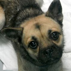 *AMIGO - ID#A676024    Shelter staff named me AMIGO.    I am a male, tan and gray Pug mix.    The shelter staff think I am about 1 year old.    I have been at the shelter since Oct 03, 2012.