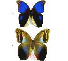 Eryphanis polyxena is a nicely colored Brassolidae butterfly from Costa Rica.