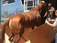 California Chrome begins his vacation at Harris Farm by being backed off the van. Watch the video Chrome is Home!! Rest up!