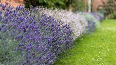 Bíle kvetoucí odrůdy jsou zajímavým osvěžením levandulového záhonu Edging Plants, Border Plants, Garden Borders, Provence, Compost, Aix En Provence