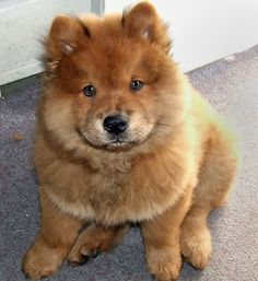 Imagem de dog, chow chow, and puppy