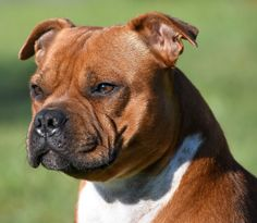 American Staffordshire Bull Terrier, Dog Fighting, Pitbulls, Dogs, Animals, Savages, Animales, Pit Bulls, Animaux