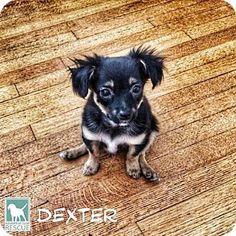 Torrance, CA - Chihuahua Mix. Meet Dexter, a puppy for adoption. http://www.adoptapet.com/pet/13100394-torrance-california-chihuahua-mix