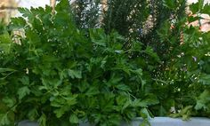 7-Giant-Herbs-You-Can-Grow-At-Home