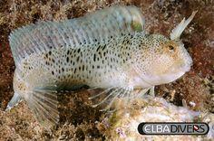 Bavosa, immersioni Isola d'elba, pesci del mediterraneo, Mare tirreno, Mondo sommerso