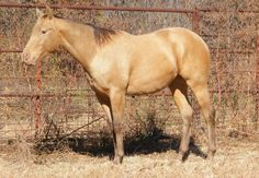 Champagne (Amber) - Quarter Horse stallion Awesome San Taylor