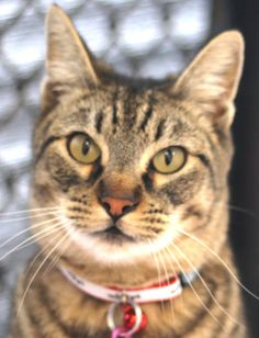 Santa Maria Valley Humane Society, CA. IN SHELTER: 10/31/13 <3 CROOKS is a distinctive cat w/ a slightly crooked tail & is very playful, sweet & loves to be petted! When he picks you as his owner you will realize he is the perfect companion for life! Come see this charmer at our shelter today!   D.O.B.: 10/02/2009