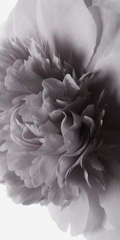 "Flowers in Neutral Moment-2015 ""Peony-#2"" Archival pigment print Photo by Soichi Oshika"