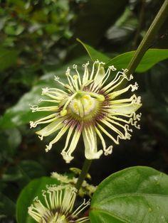 Passiflora rufa originates from French Guiana