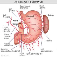 Stomach diagram | Digestive Diagrams | Pinterest | Rn programs