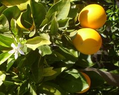 Sweet oranges and blossoms in my backyard..I tincture the blooms and make natural perfume. www.JoAnneBassett.com