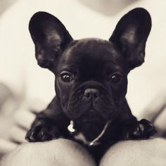 :: why hello :: frenchie bulldog Cute Puppies, Cute Dogs, Dogs And Puppies, Doggies, Animals And Pets, Baby Animals, Cute Animals, French Bulldog Puppies, Frenchie Puppies