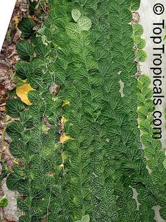 Rhaphidophora cryptantha Family: Araceae Shingle Plant Origin: Papua New Guinea