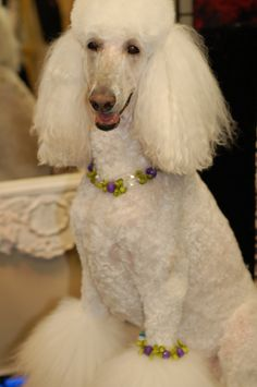 Image result for poodle wearing jewelry
