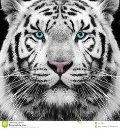 Photo about White Siberian tiger face / eyes. Image of face, tiger, closeup - 32012325 Beautiful Cats, Animals Beautiful, Image Tigre, Panthera Tigris Altaica, White Tiger Tattoo, Tiger World, Tiger Roaring, Tiger Pictures, Big Cats Art