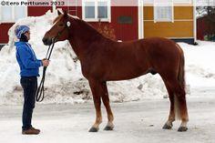 Rikelme, harness racing -type Finnhorse stallion