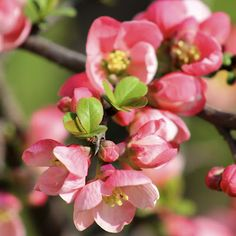 Flowering quince, a lovely shrub that can be pruned to be small-ish