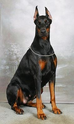 Very nice Dobermann who reminds me of my passed Lady Viktoria!! She was loved by many both people and animals!!