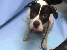 SAFE 9-17-2015 by Pet Adoption League of NY --- Brooklyn Center CAKE  – A1050672  FEMALE, WHITE / BLACK, PIT BULL MIX, 1 yr STRAY – STRAY WAIT, NO HOLD Reason STRAY Intake condition EXAM REQ Intake Date 09/08/2015,