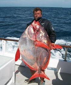 Big Fishes of the World: OPAH (Lampris guttatus)